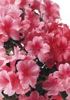 azalea, pink, flowers