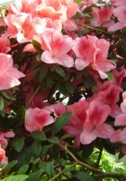 azaleas, shrubs, flowering
