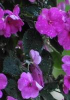 balsams, flowers, drops