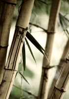 bamboo, leaves, colors