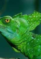 basilisk, lizard, head