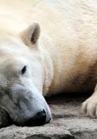 bear, polar bear, sleeping