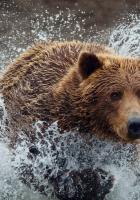 bear, run, splash