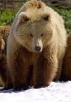 bears, brown, three