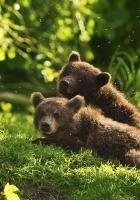bears, pair, grass