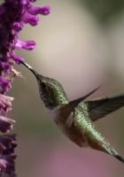 beautiful, hummingbird, bird