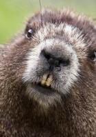 beaver, face, teeth