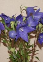 bells, flowers, field
