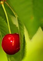 berry, cherry, twig