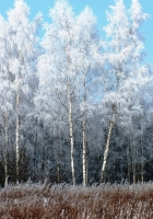 birches, hoarfrost, snow