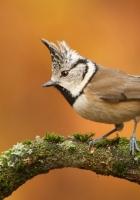 bird, branch, crest