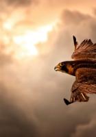 bird, hawk, sky