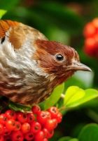 bird, mountain ash, sparrow