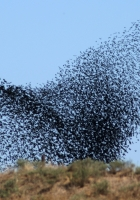 birds, swarm, flight
