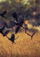 birds, take-off, crows
