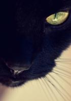 black cat, face, eyes