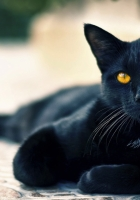 black cat, lying, beautiful