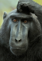 black, crested macaque, muzzle