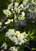 blossom, spring, branch