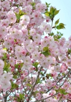 blossoms, twigs, leaves