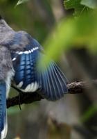blue jay, cyanocitta cristata, birds