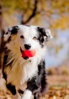 border collies, dog, ball