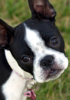 boston terrier, puppy, face