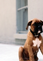 boxer, puppy, dog