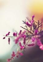 branch, flowers, pink