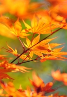 branch, maple, leaves