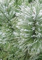 branch, needles, coniferous