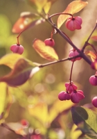branches, leaves, berries