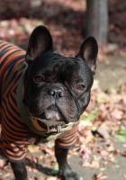 bulldog, dog, costume