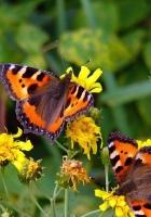butterflies, grass, flowers