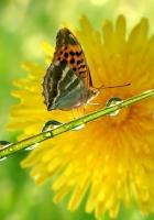 butterfly, flower, drop