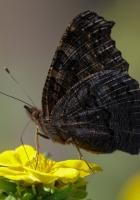 butterfly, wings, side