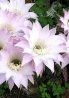 cactus, blooming, flowerbed