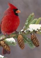 cardinal, bird, color