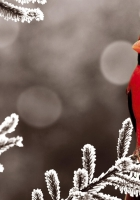 cardinal red, branch, bird