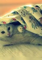 cat, blanket, lie