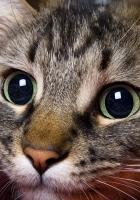 cat, eyes, muzzle
