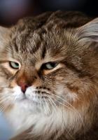 cat, face, bushy