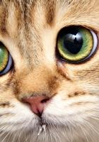 cat, face, close-up