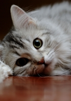 cat, fluffy, down