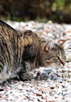 cat, hunting, rocks