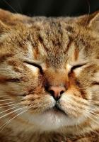 cat, sleep, muzzle