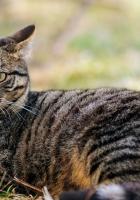 cat, striped, face