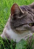 cat, tabby, down