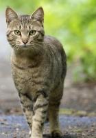 cat, walk, striped