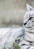 cat, white, black